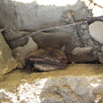 Bat hiding under a rock