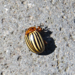 Colorado potato beetle pretending to be dead