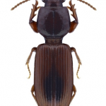 Clivina collaris
