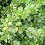 Buxus colchica