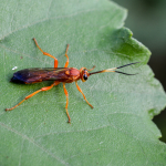 Lymantrichneumon disparis