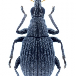 Oxystoma craccae