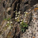 Saxifraga cartilaginea