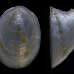 Ancylus major